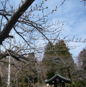 130330toushoguu-sakura1