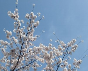 130416toushouguu-sakura