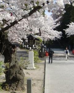 130416toushouguu-sakura2